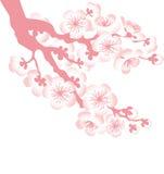 Sacura tree blossom Royalty Free Stock Photography