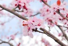 Sacura van de lente. Stock Foto