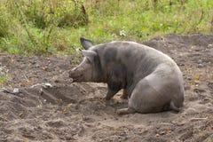 Sadło brudna świnia Fotografia Royalty Free