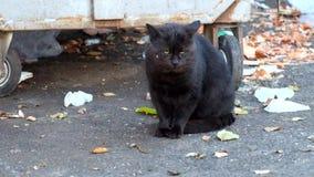 Sadło farbujący czarny kot ono myje zbiory wideo