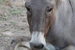 SAD åsna Fotografering för Bildbyråer