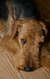 Sad airedale terrier dog laying on a wooden floor. Emotional airedale terrier dog laying on a wooden floor at home stock photos