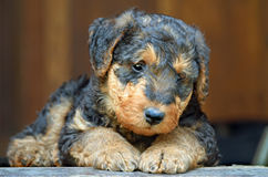Sad Airedale Terrier puppy. A wonderful portrait that would be great on a greeting card or calendar of a sad little Airedale Terrier puppy dog who looks like he royalty free stock photo