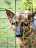 Sad Alsation, German Shepherd dog nehind wire fence in garden. Royalty Free Stock Images