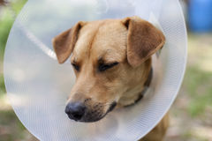 Sad animal suffering. Closeup with sad dog suffering in cone Royalty Free Stock Image