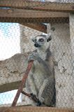 Sitting lemur in cage in Madagascar royalty free stock image