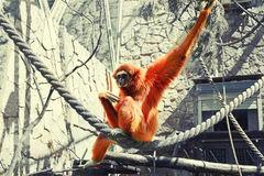 Sad ape sitting on rope in cage toned. Image Stock Photography