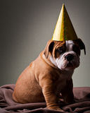 Sad Australian bulldog puppy Royalty Free Stock Photos