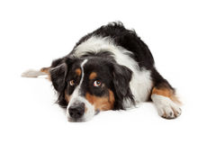 Sad Australian Shepherd Dog Laying Stock Photography