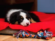 Australian shepherd puppy. Sad Australian Shepherd purebred puppy, 2 months old with toy. Black Tri color Aussie dog at home on the lair Royalty Free Stock Photography