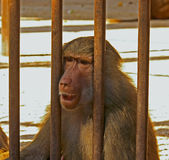 Sad Baboon Royalty Free Stock Photo