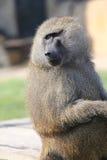 SAD baboon Arkivbilder