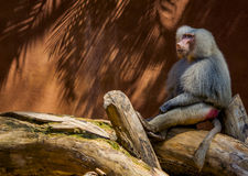 Sad Baboon Stock Photo