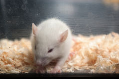 Sad baby albino rat in acrylic cage Royalty Free Stock Photography
