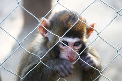 Sad baby monkey holding the fence. A sad baby monkey is holding the fence at a zoo. The look of this monkey is very deep and heart touching stock images