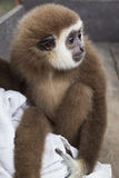 Sad baby monkey Royalty Free Stock Photo