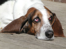 Sad basset hound. Sad looking basset hound looks at owner royalty free stock images