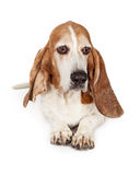Sad Basset Hound Dog Laying. A sad looking Basset Hound breed dog laying down and looking to the side royalty free stock image