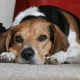 SAD beagle Arkivfoto