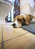 Sad beagle dog laying on a carpet Royalty Free Stock Images