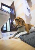 Sad beagle dog laying on a carpet Stock Photo