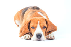 Sad beagle dog Royalty Free Stock Photo