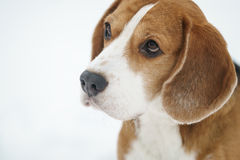 Sad beagle dog outdoor portrait walking in snow Royalty Free Stock Photography
