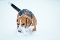 Sad beagle dog outdoor portrait walking in snow Stock Image