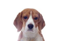 Sad beagle dog portrait isolated on white. Background Stock Photos