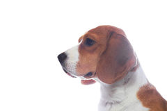 Sad beagle dog portrait isolated on white Stock Photography