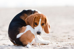 Sad beagle puppy Royalty Free Stock Photography