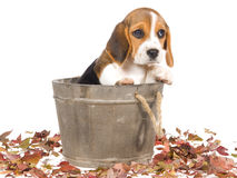 Sad Beagle puppy in barrel vat Stock Images