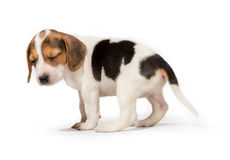 Sad beagle puppy Stock Photo