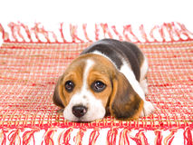 Sad Beagle puppy lying on red carpet. Beagle puppy lying on red rug on white background Royalty Free Stock Photo