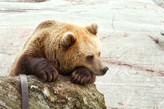 Sad bear Stock Image