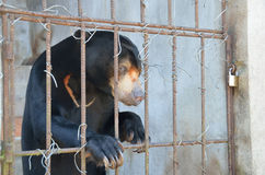 Sad bear in a cage Royalty Free Stock Images