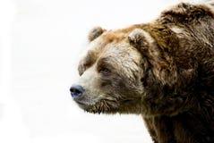 Sad bear portrair. Portrait of sad brown bear stock images