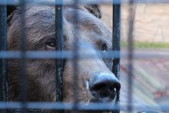 Sad bear in zoo looking through the cage Royalty Free Stock Images