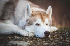 Sad and beautiful siberian Husky dog lying in the dark fall mysterious forest at sunset. Close-up Portrait of beautiful and sad beige siberian Husky dog lying on stock photo