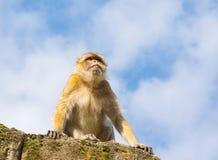 Sad berder monkey Royalty Free Stock Photos