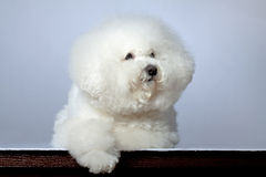 Sad bichon frise Royalty Free Stock Image
