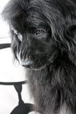 sad big dog Stock Photo