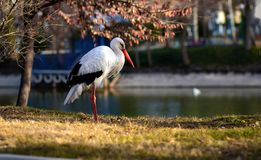 Sad bird .crane. spring has come stock photos