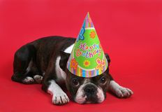 Sad birthday. A boston terrier with a birthday hat on Stock Photos