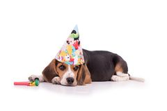 Sad birthday Beagle Royalty Free Stock Image