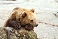 SAD björn fotografering för bildbyråer