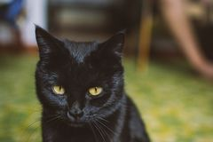 Sad black cat. Portrait of a domestic cat looking at the camera royalty free stock image