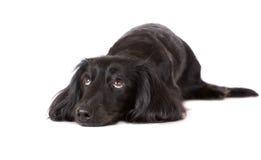 Sad black dachshund dog. Long haired dachshund dog on white Royalty Free Stock Image