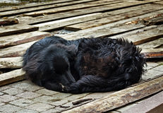 Sad black dog is laying on outdoors. Homeless lonely black dog curling into a ball on the street Stock Images