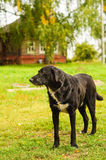 Sad Black dog Royalty Free Stock Photo